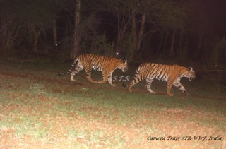 Tigers photographed by camera traps in Sathyamangalam Tiger Reserve. Photo credit: Tamil Nadu Forest Department