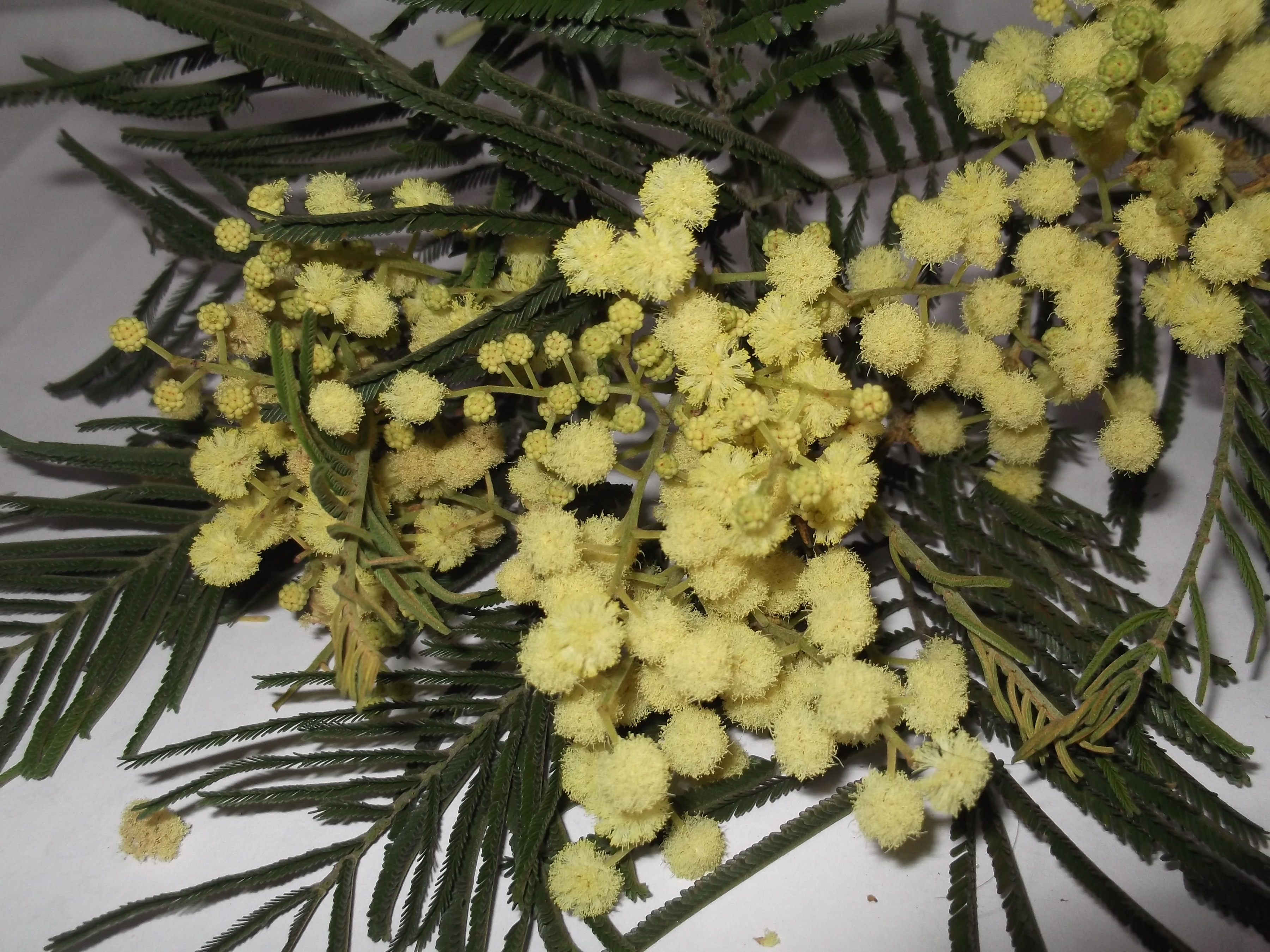 Flowers of the black wattle. Photo credit: Wikimedia Commons