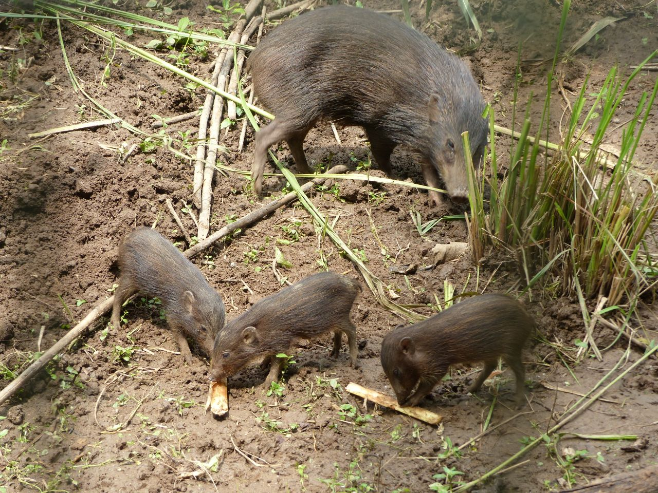 A pygmy hog mother with her piglets at a conservation breeding centre in Assam. The breeding center of this critically endangered animal is depending on home gardens and the Guwahati zoo to provide food during the lockdown. Photo by Tammo Buss.