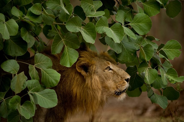 For now, Gir is the last refuge of the Asian lion population. A second home is essential to save the Asiatic lions. Photo by Kalyan Varma.