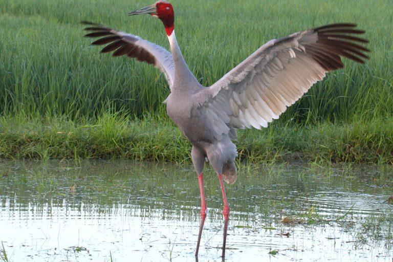 Shifting seasons and unseasonal rains impact nesting season of the Sarus crane which relies on nature's cues to start nesting. Photo credit: K S Gopi Sundar