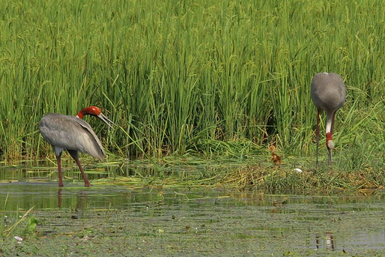 Impact of changing patterns has been long recorded by bird watchers and citizen scientists. Such observations are driving more research. Photo credit: K S Gopi Sundar