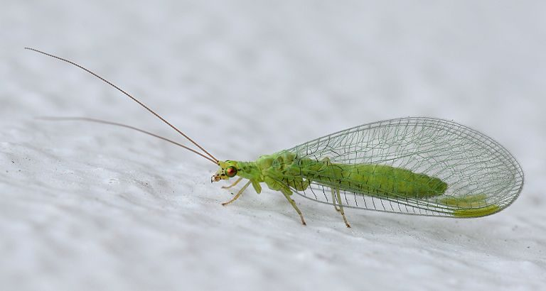 Green lacewings are familiar to gardeners. Lacewings protect trees like cedar, walnut and birch from aphids, leaf-miners, leafhoppers and whiteflies. (Photo credit: Alvesgaspar/Wikimedia Commons)