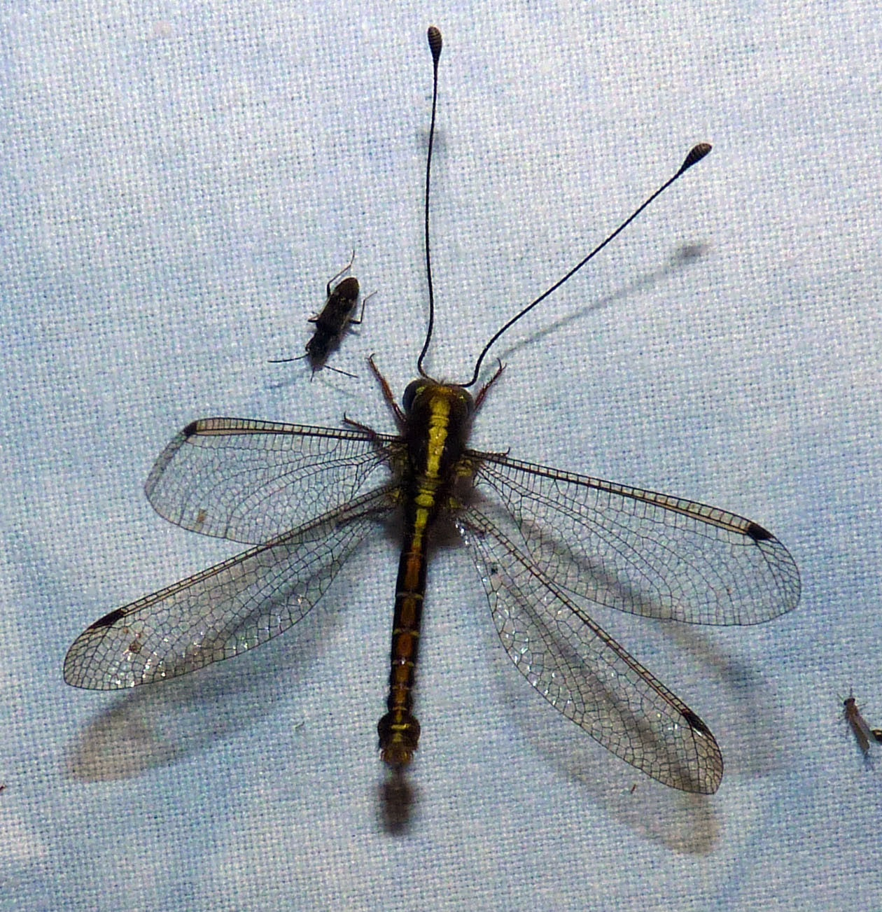 The owlfly is often mistaken for a dragonfly. (Photo credit: Geetha Iyer)
