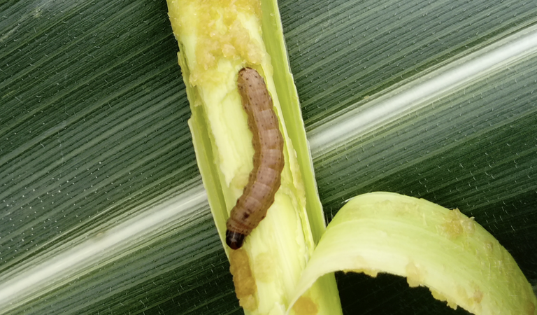Fall Army Worm Karnataka