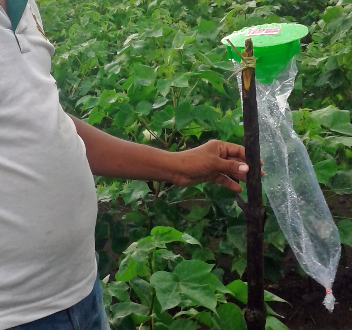 Pheromone traps are provided at a subsidised rate to the farmers. But farmers have found them to be ineffective in trapping pests. Photo credit: Meena Menon