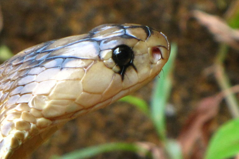 New antivenom could be a gamechanger in treatment of snakebites