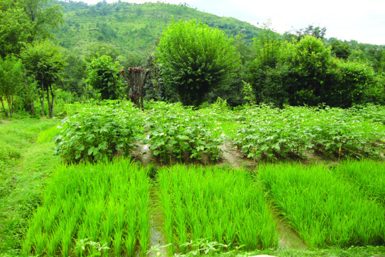Contour farming for soil and water conservation. Photo credit: SK Mahapatra