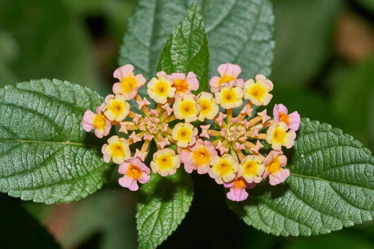 Lantana camara, an invasive species in Indian forests, increases the risk of forest fires. Photo credit: Wikimedia Commons