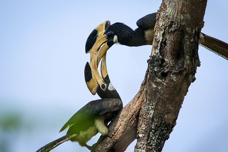 Hornbill Watch was launched to assess the distribution of hornbills in India and identify sites where conservation efforts are needed. Photo credit: Vikas Patil/Wikimedia Commons.