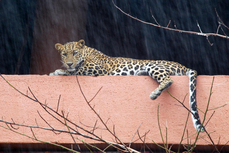 The Leopards of Aarey