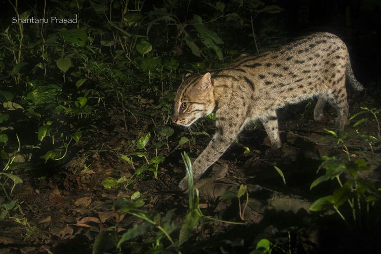 A fishing cat prowls near a fish pond in West Bengal at night. Photo credit: Shantanu Prasad