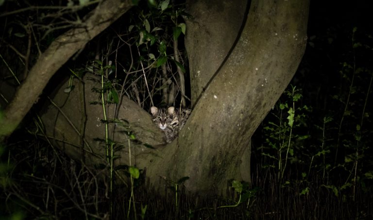 Fishing cats are nocturnal species, that catch fish from fresh and saltwater wetlands. This individual peeks out of mangrove forests of the Godavari delta in Andhra Pradesh. Photo credit: Pranav Tamarapalli/Wikimedia Commons.