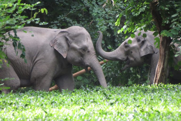Elephants in a tea plantation. Photo credit: Anshuma Basumatary.