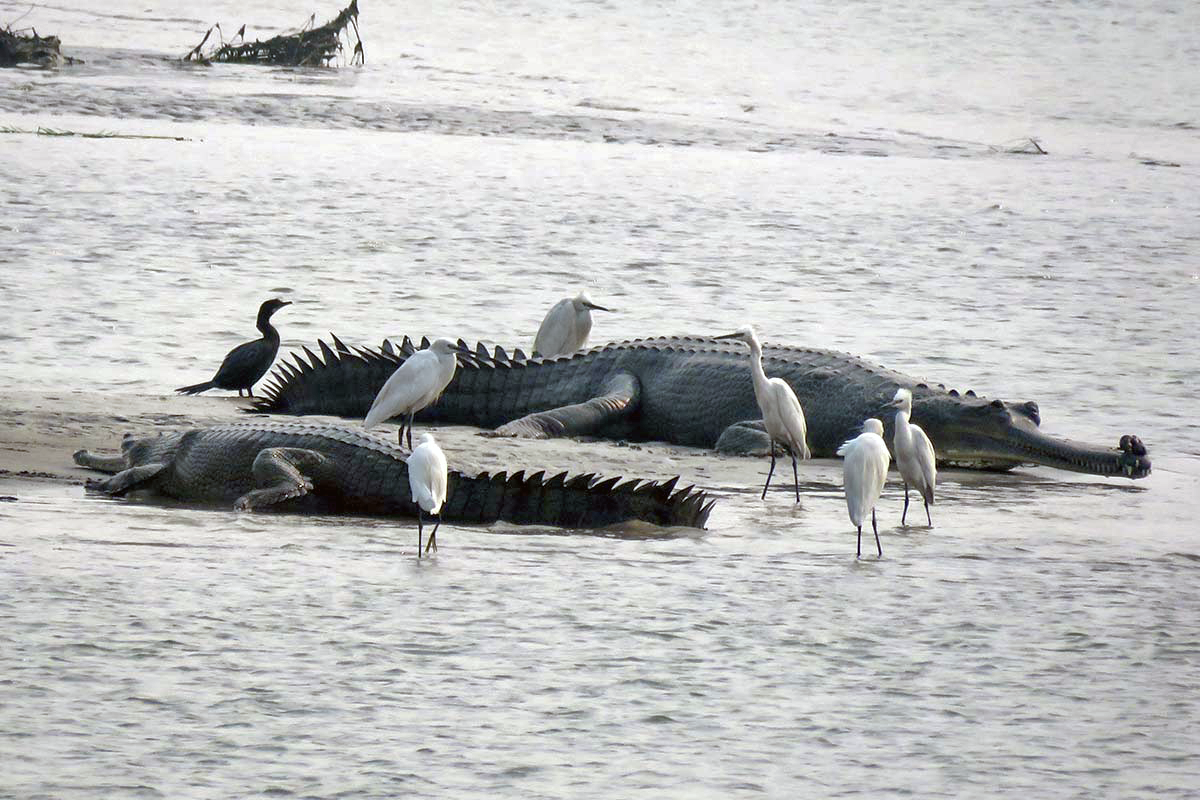 Favourable habitat conditions and a comparatively lesser disturbed river have aided in the conservation of gharials along Gandak river. Photo by Subrat Kumar Behra