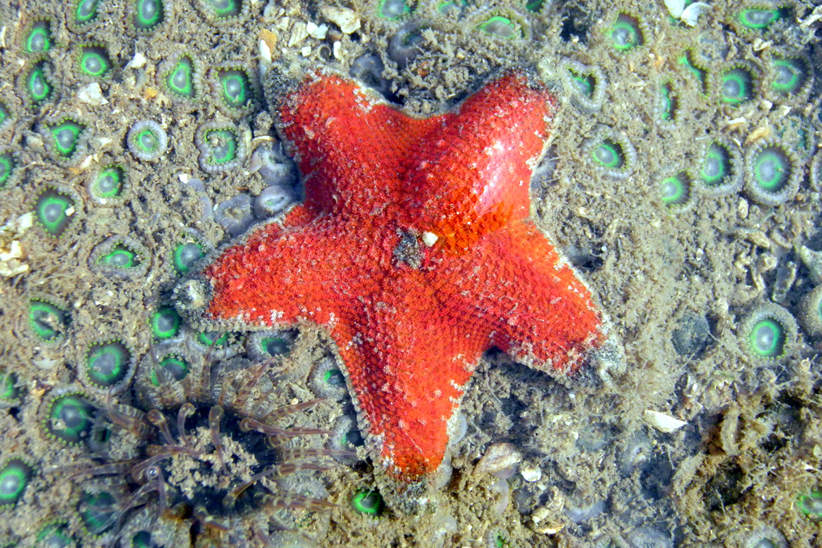 Sea star (Aquilonastra anomala) Photo by Pradip Patade