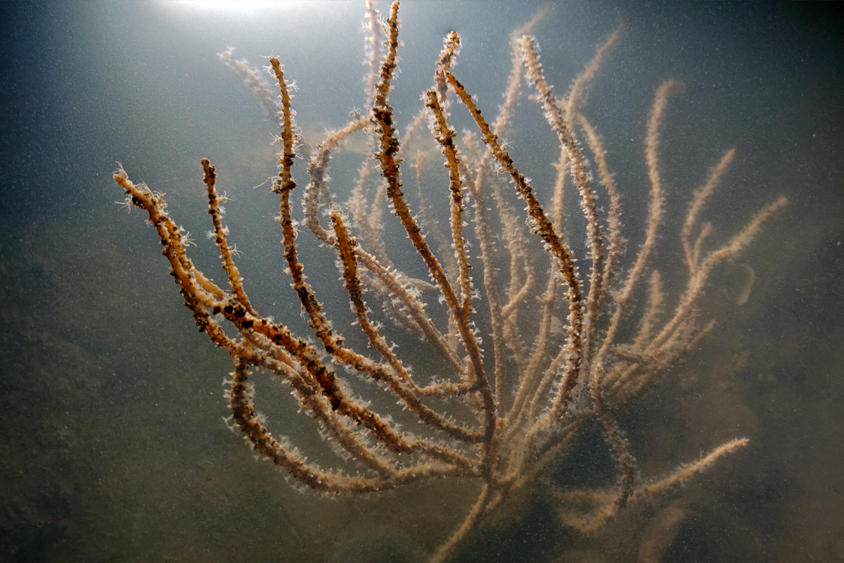 Sea fan (Plexauridae sp.) Photo by Sejal Mehta