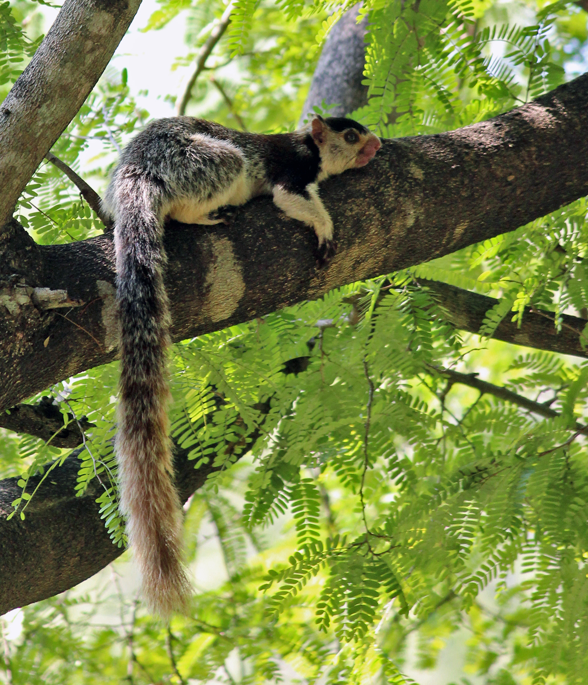 Grizzled-giant-squirrel-chinnar