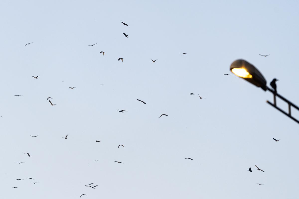 Black-Kite-Mumbai