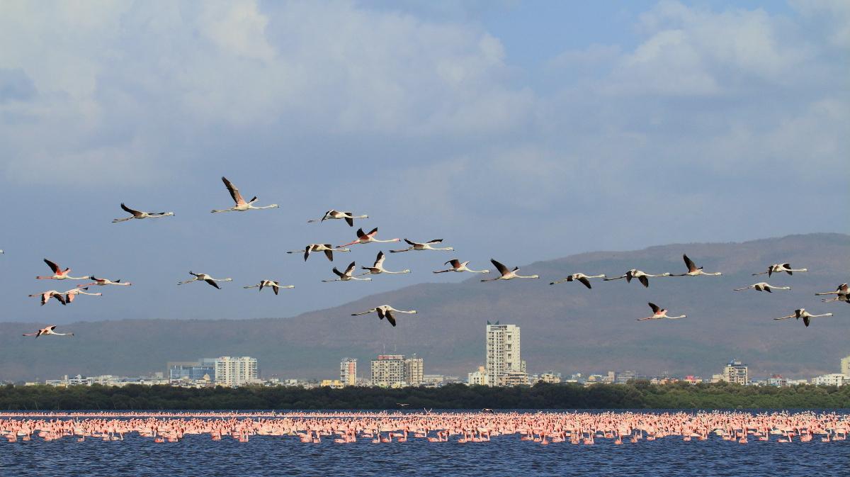 Flamingos in Bhandup, Mumbai. The city and its varied habitats house a diverse population of resident and migratory birds. Photo credit: Tushar Nidambur.