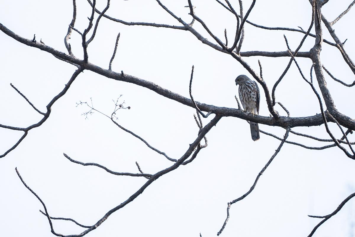 A shikra perched on a bare tree. Photo credit: Kartik Chandramouli.