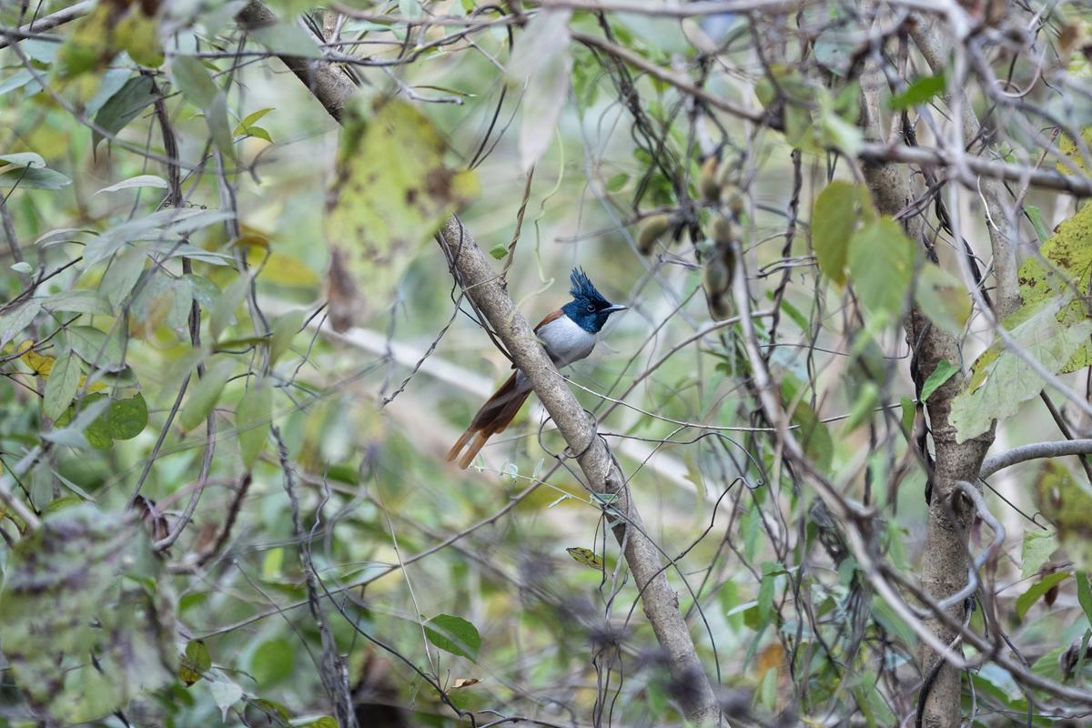 Asian paradise flycatcher. Photo credit: Kartik Chandramouli.