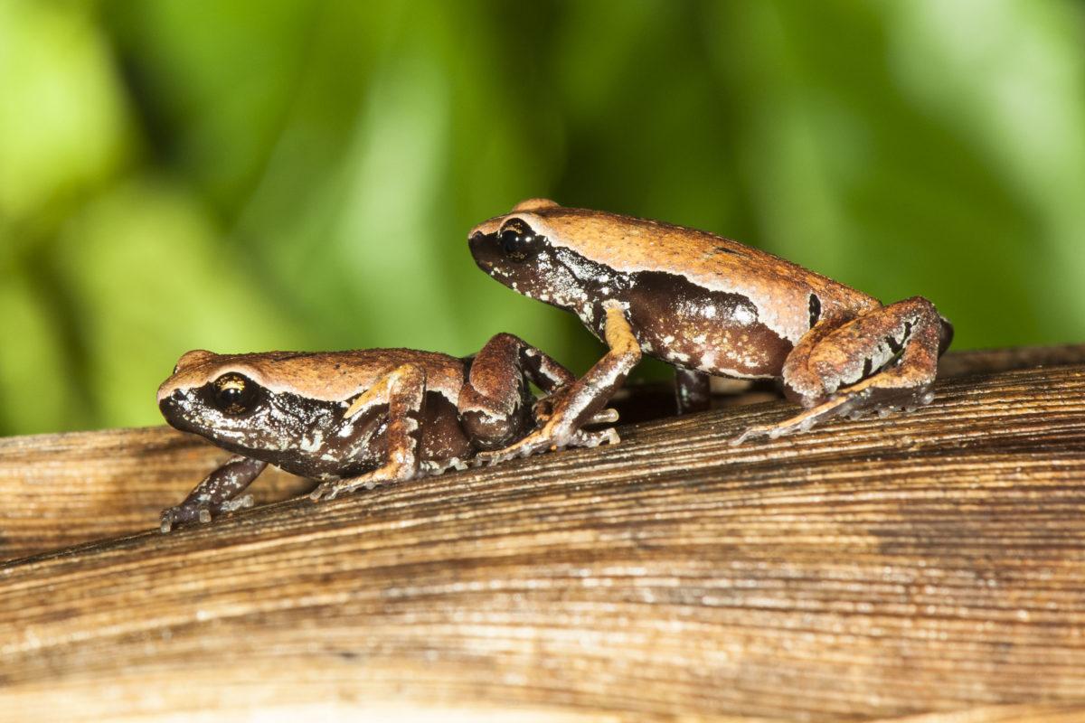 New-frog-species-2