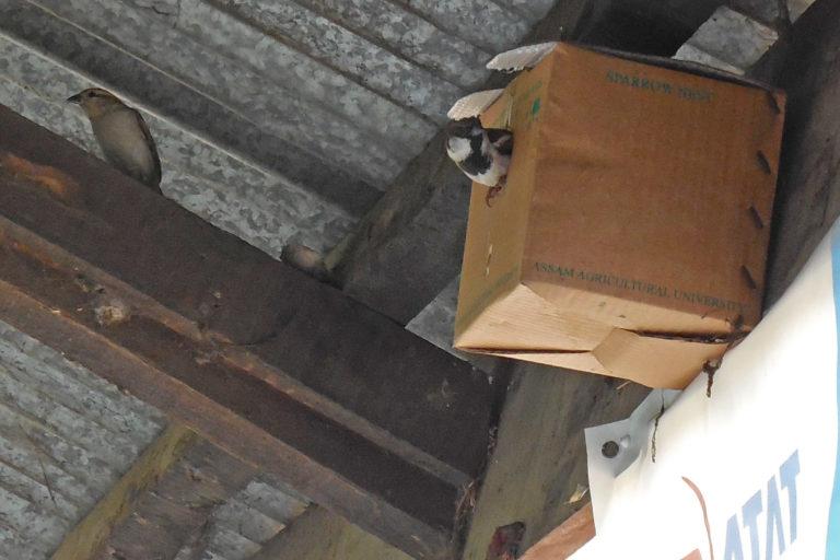 Sparrow-nest-Assam