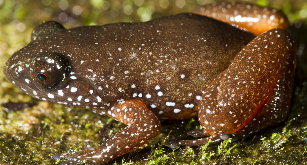 New frog species discovered in biodiversity-rich Western Ghats
