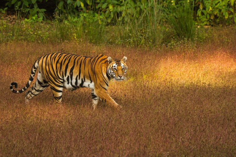 Tiger Western Ghats Central India