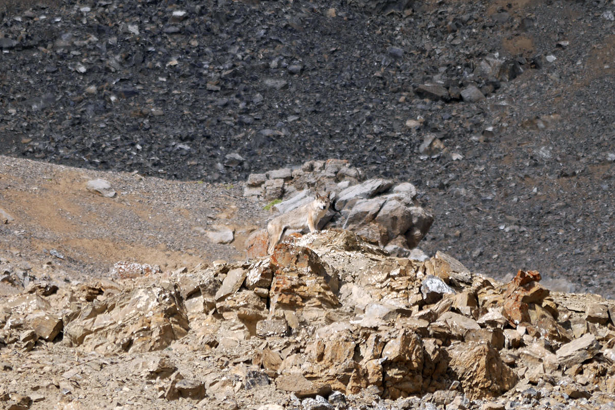 Himalayan-Wolf-1
