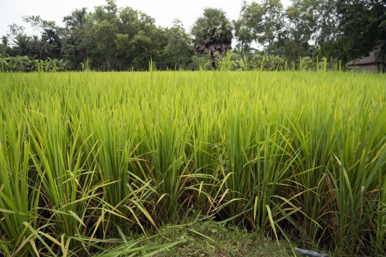 Sunderban-Rice-Field