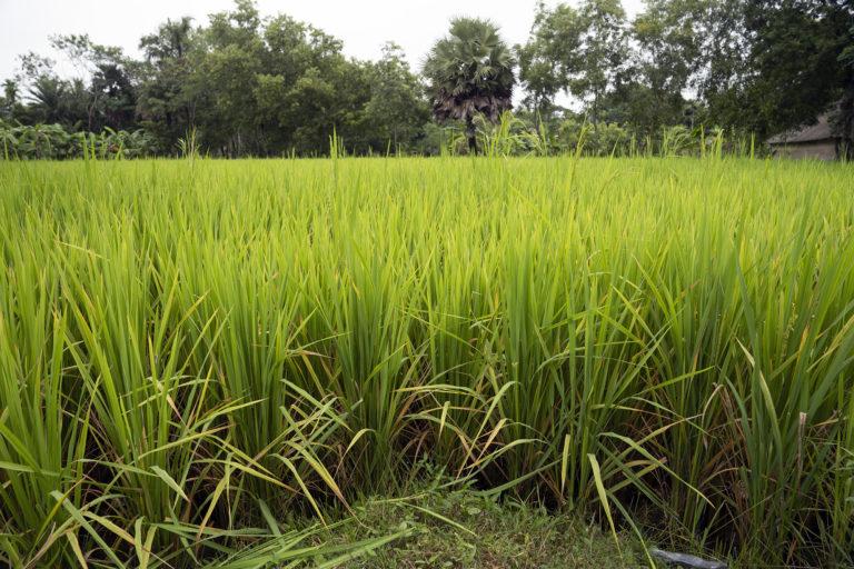 Sunderban-Rice-Field