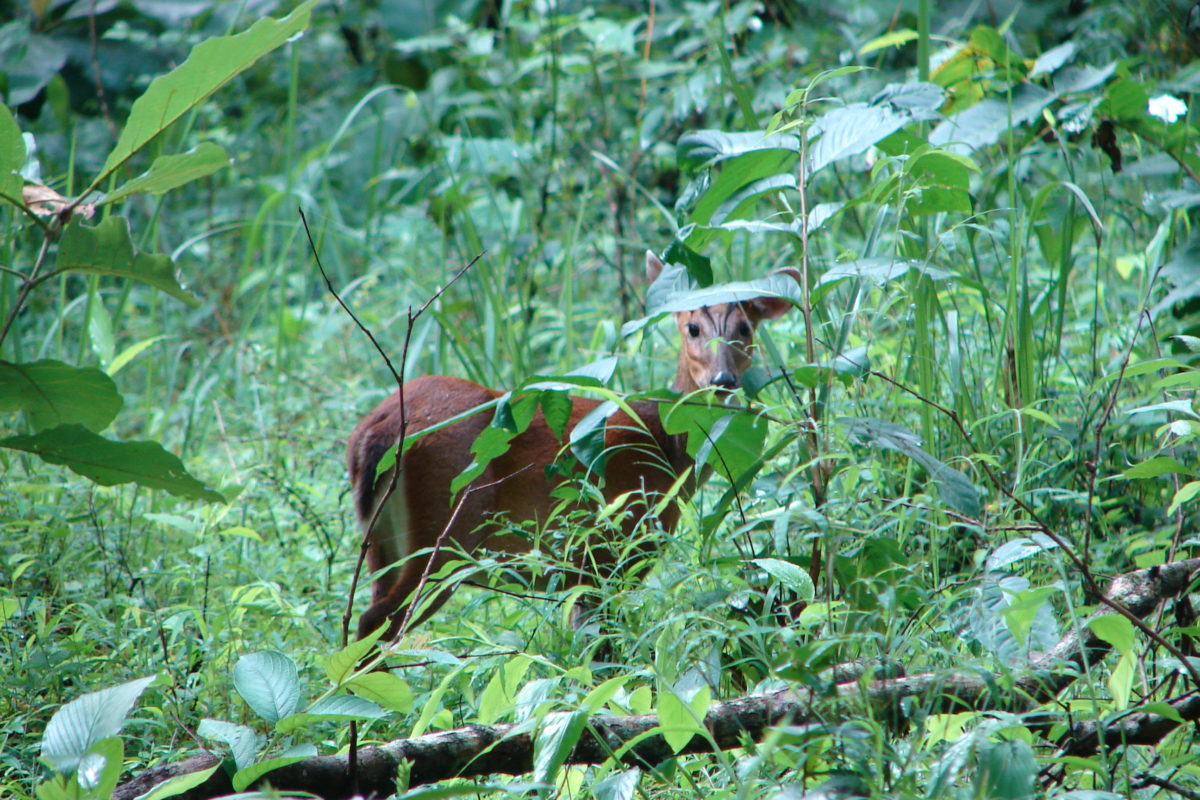 Though found in forests across India, the Indian muntjac or barking deer is among the least studied mammals. Photo credit: Dinesh Kannambadi/Wikimedia commons.