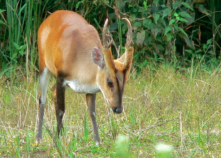 The Muntiacus group currently has 12 recognised species, which differ widely in their chromosome numbers; the Chinese muntjac has 46 chromosomes while the Indian muntjac has only six, the lowest for any mammal. Photo credit: Bernard DuPont/Wikimedia Commons.