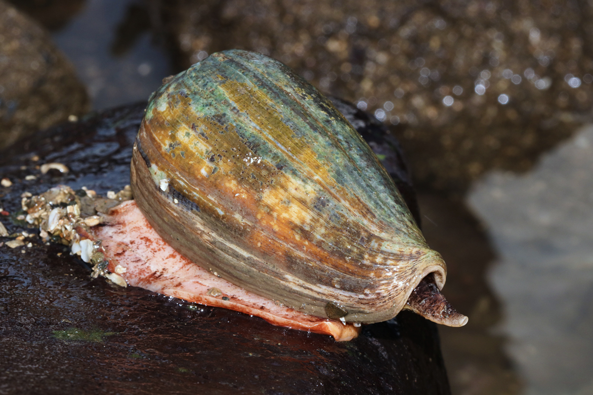 Cone-snails