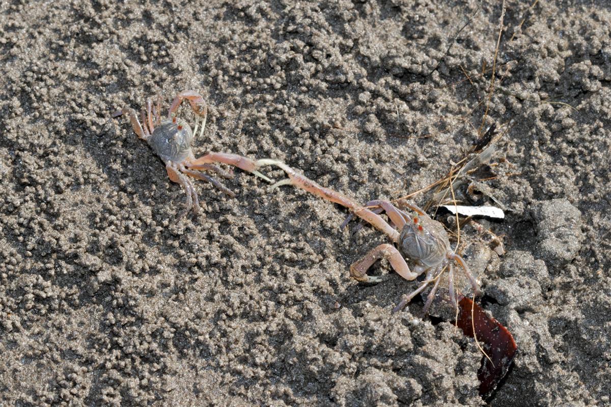 Soldier-Crabs