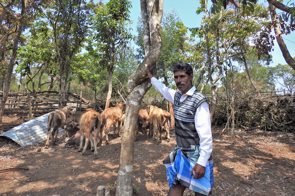 Aradukuttan, a co-ordinator for biodiversity management and restoration at the Keystone Foundation, pictured near a pen of buffalo calves. He lost an adult female buffalo to a tiger attack recently. Photo by Bhanu Sridharan.
