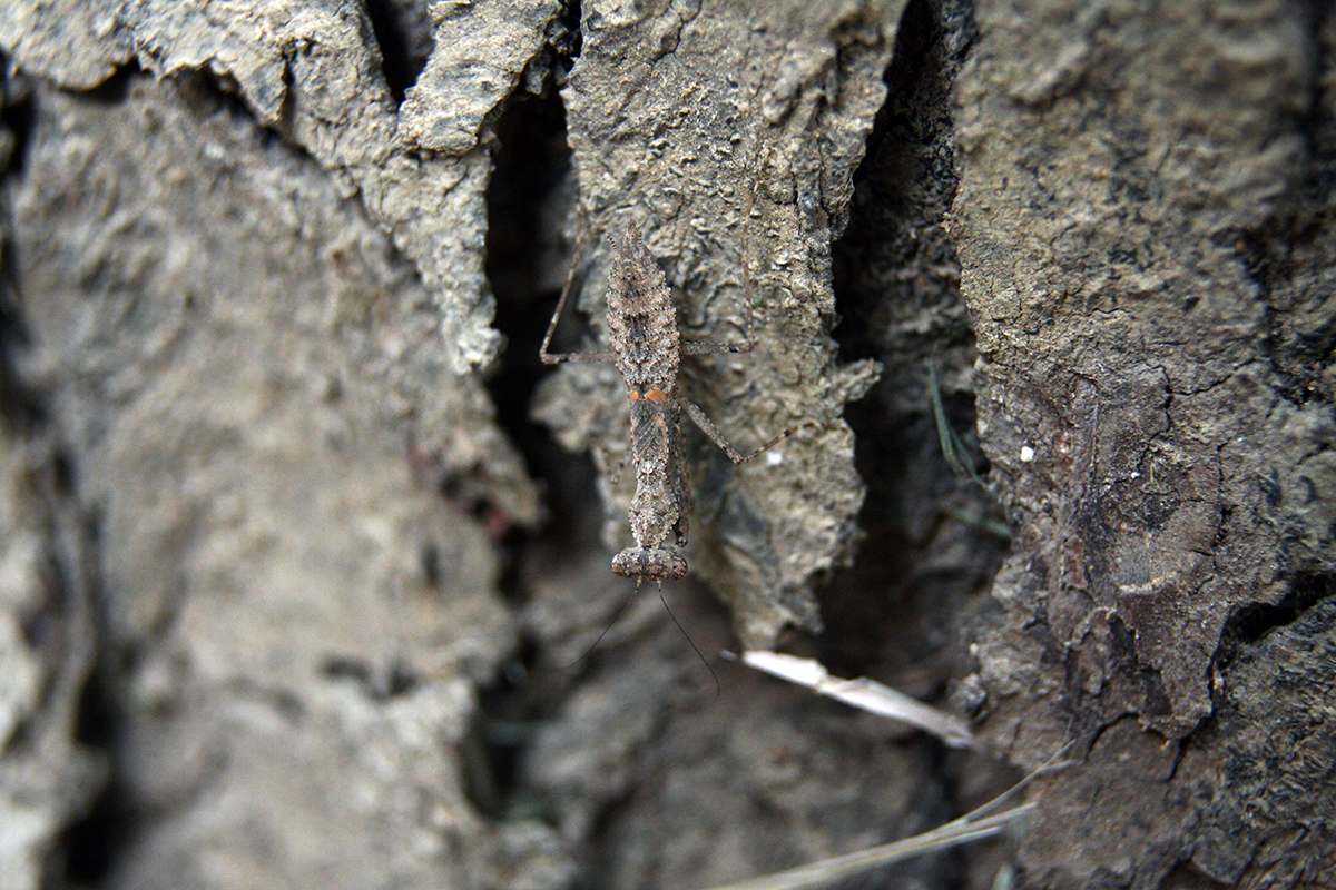 A praying mantid matches the texture and colour of the bark of a tree. Photo by Kevin Samuel.