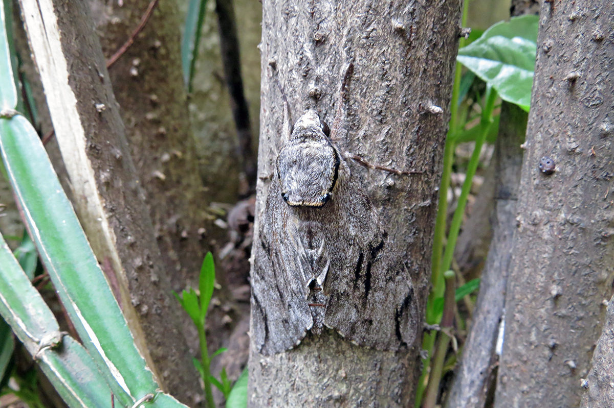 The hawk moth is hardly discernible on the tree bark. Photo by Jency Samuel.
