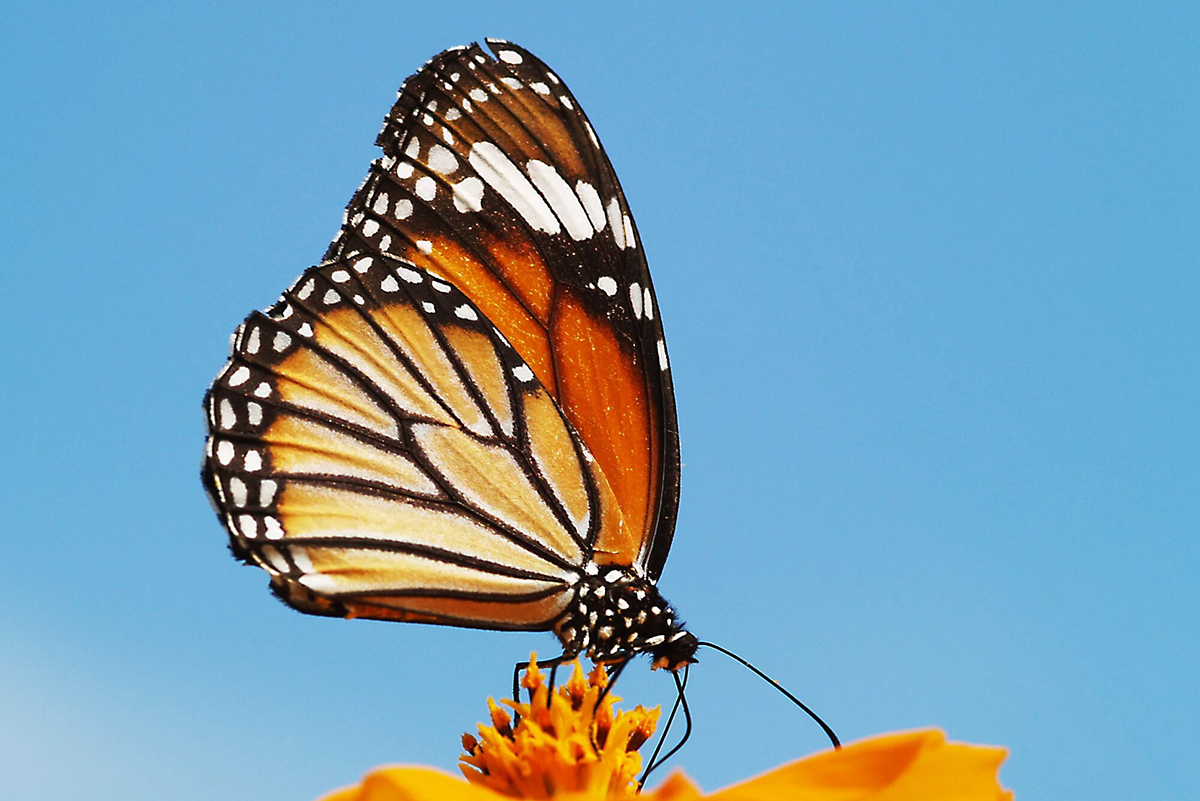 A striped tiger butterfly, Danaus genutia, perched on a flower. Credit: Ullasa Kodandaramaiah/Mongabay-India