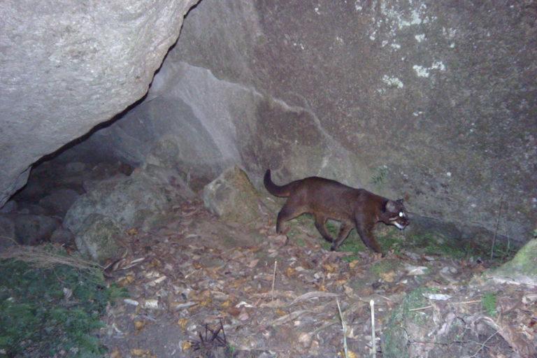 Cinnamon-morph-of-the-Asiatic-golden-cat-c-ZSL4