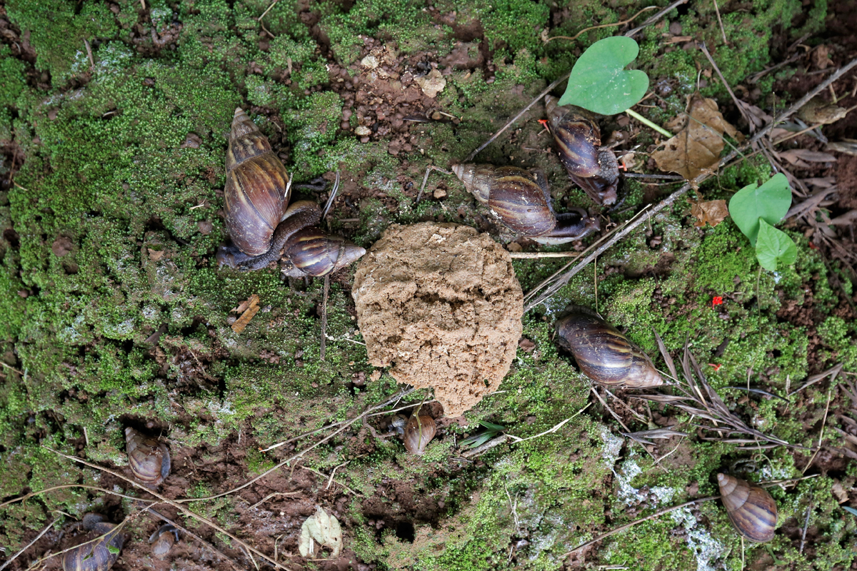 Researchers at the Central Coffee Research Institute in Chikmagalur district of Karnataka devised a successful catch-and-kill method to control the snail's invasion. A bait made of rice bran, jaggery, castor oil and a chemical, thiodicarb is used to lure and kill the pests. Photo by Abhishek Chinnappa.