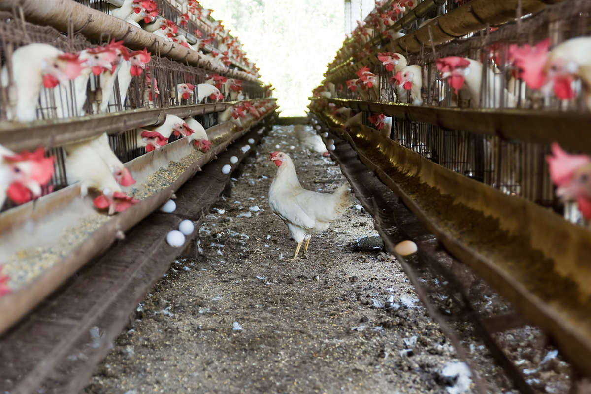 Commentary] Factory farming for eggs impacts India's environment