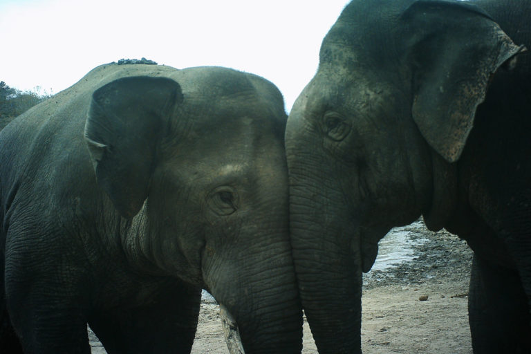 Social interaction between a younger and an older male elephant. Photo by Nishant Srinivasaiah/FEP.