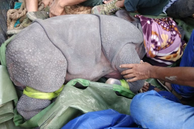 A rescued baby rhino on its way to a rehabilitation centre. Photo by IFAW/WTI.