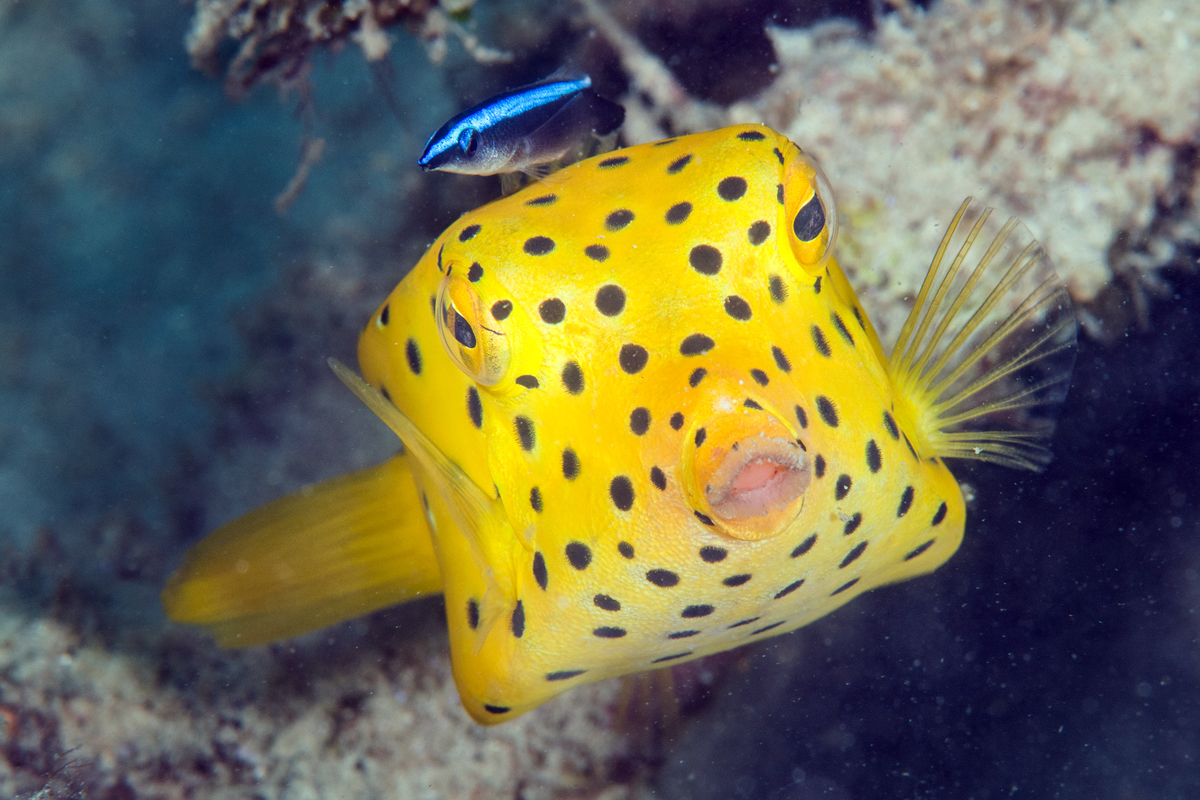 A bluestreak cleaner wrasse (Labroides dimidiatus) hovers around a yellow boxfish looking for dead skin and parasites. Photo by Umeed Mistry.
