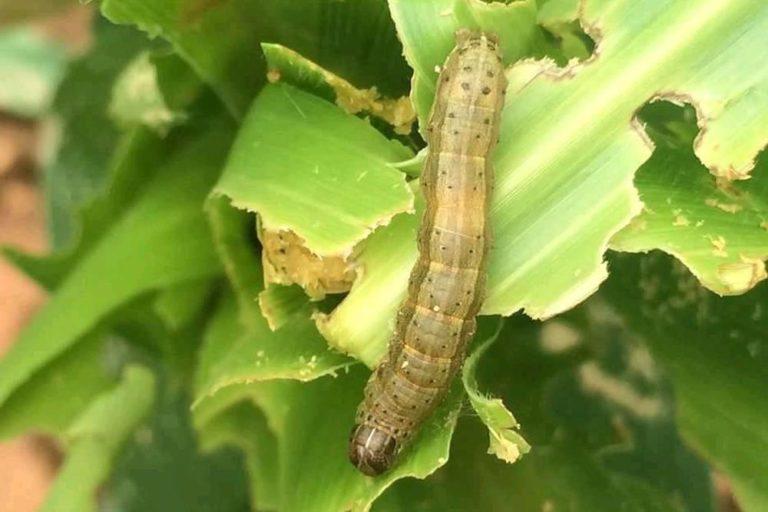 Fall armyworm larvae feeding on a maize crop. Photo from Plantix.