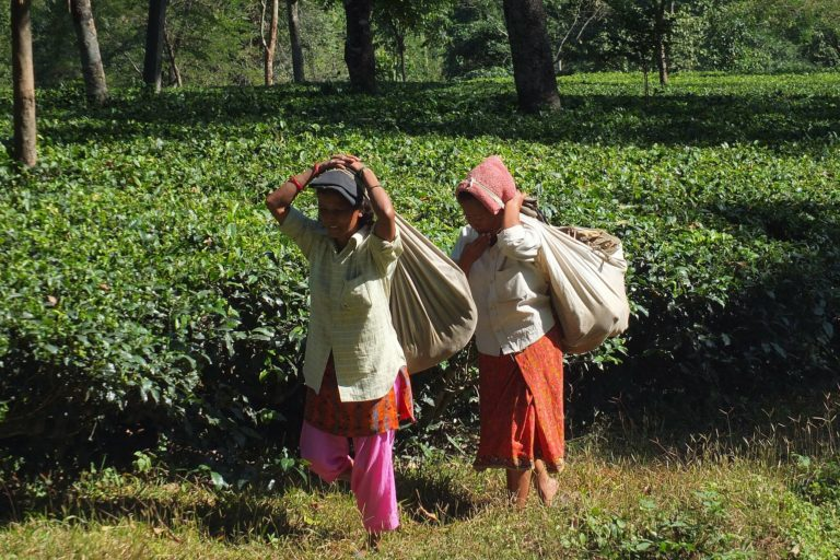 Labour shortage has impacted the tea industry.