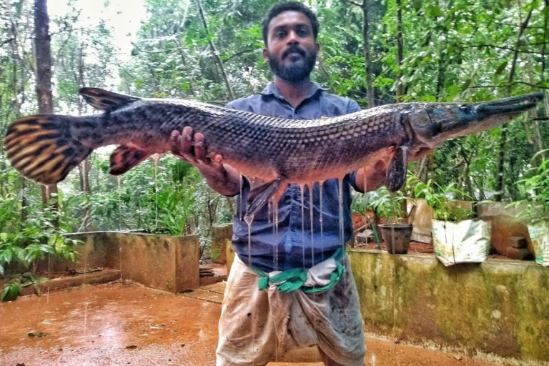 A man displays an alligator gar caught from a river in Kerala. The fish can measure up to three metres in length and could put the native fish species at risk. Photo from Smrithy Raj.